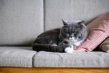 British short hair cat sleeps on couch - 229333732