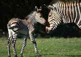 Zebra foal with mother