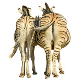 Two zebras standing, back side view, isolated on white background.
