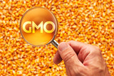 Scientist inspecting corn seed for GMO - 229346324
