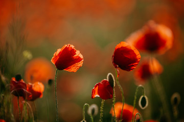 Beautiful field of red poppies in the evening light