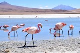 The pink flamingos filled lakes of Bolivia
