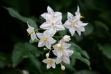 white petals - 229363112