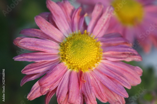Pink and yellow single flower closeup - 229368146