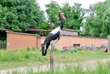 The saddle-billed stork