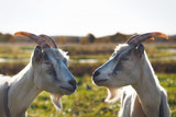 Two goats. Portrait of funny animals in nature in the field - 229369545
