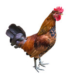 dark brown color rooster isolated on white