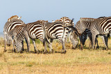 Flock of Zebras grazing on the African savannah