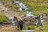Hyenas at a small creek in the savanna