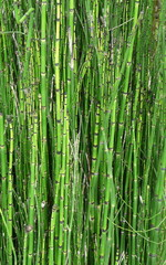 Nature Landscape Background of Green Bamboo. A close-up of a stand of bamboo plants, stems, and joints provides a natural green background. © romarti