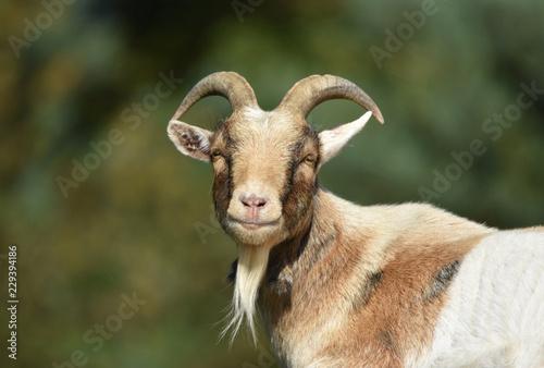 Billy Goat - 229394186