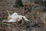 Zwei Wölfe in Dominanzverhalten und Unterwerfung