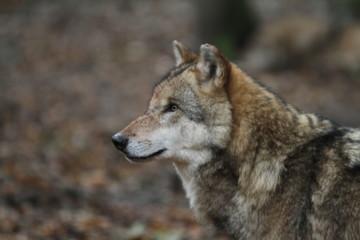 Kopf eines Wolfes im Wald mit unscharfem Hintergrund