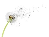 Dandelion blowball - 229401318