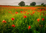 Poppies in field in Northumberland, England, UK.