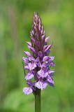 Common Spotted Orchid (Dactylorhiza fuchsia)/Common Spotted Orchid in wild summer meadow