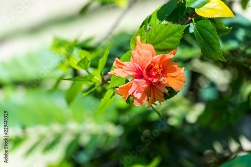 Foto Murales View of an orange flower, Moalboal, Cebu, Philippines. With selective focus.