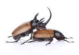 Rhinoceros beetle, Rhino beetle, Hercules beetle, Unicorn beetle,Reproductive