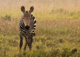 Mountain zebra foal on the grasslands of the Mountain Zebra National Park near Cradock in South Africa