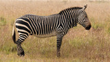 Mountain zebra on the grass plains of the Mountain Zebra National Park near Cradock in South Africa