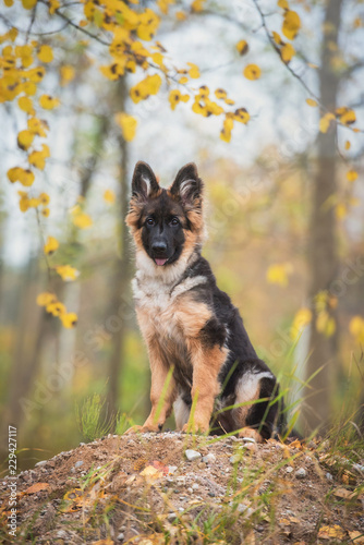 German shepherd puppy sitting on the hill in autumn