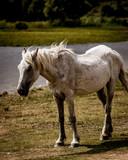 new forest white pony