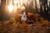 dog in the autumn leaves running in the Park. Pet on nature. Funny and cute Jack Russell Terrier - 229438935