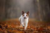 dog in the autumn leaves running in the Park. Pet on nature. Funny and cute Jack Russell Terrier - 229438939