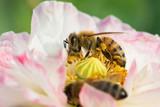 Bees in poppy flower