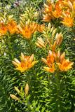orange lily flowers growing in garden