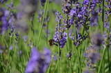 Wasp in lavender