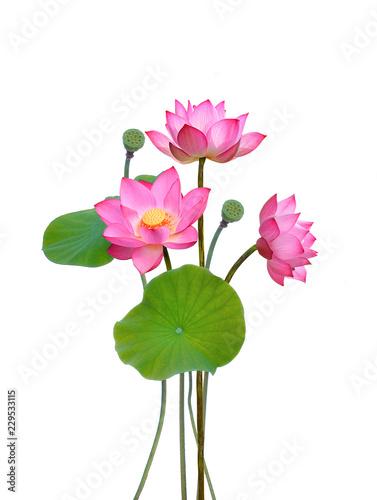 Lotus Flower Buy Photos Ap Images Detailview