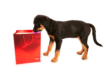 Rottweiler Puppy Taking Item Out of Red Bag