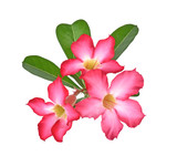 Tropical flower Pink Adenium. on isolated white background.
