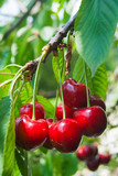 Close-up of many ripe and red cherries with petioles - 229550363