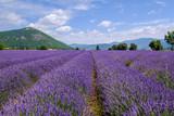 Champ de lavande, Banon, Provence, France.