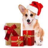 Welsh corgi dog with santa hat and christmas gifts sitting isolated on white background