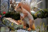 Eurasische Eichhörnchen (Sciurus vulgaris) am Futterplatz im Garten © Aggi Schmid