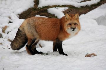 Rotfuchs (Vulpes vulpes) im Winter