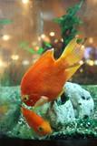 Two freshwater orange fish swimming in the aquarium