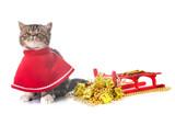 exotic shorthair kitten and christmas