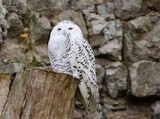 White (polar) owl. The white owl perfectly adapted to the peculiarities of tundra lighting, where night lasts for several months in winter and day lasts in summer.