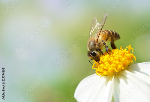 Foto Murales Bee on flower with soft blurred background