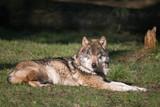 Wolf in der Sonne