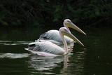 White strok birds in water
