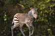 Zebra Foal 4 days old