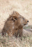 Wind blowing the mane of a male lion - 229610392