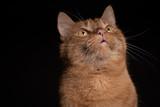 Portrait roter Kater Katze vor schwarzem Hintergrund - Variante 1