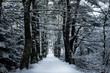 Pine Hill Path in Winter