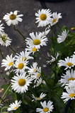 Large garden white Daisy with a yellow center
